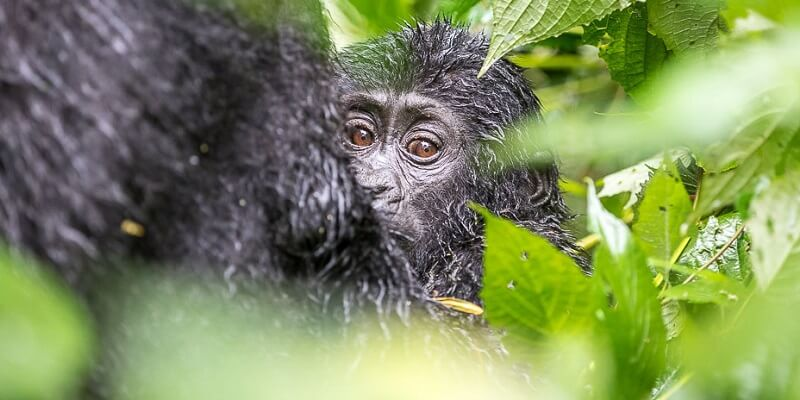 A baby mountain gorilla from the Sabyinyo family group. The infant gorilla will among 24 others to be named at this year's Kwita Izina (naming ceremony) at the foothills of the Volcanoes National Park, Rwanda